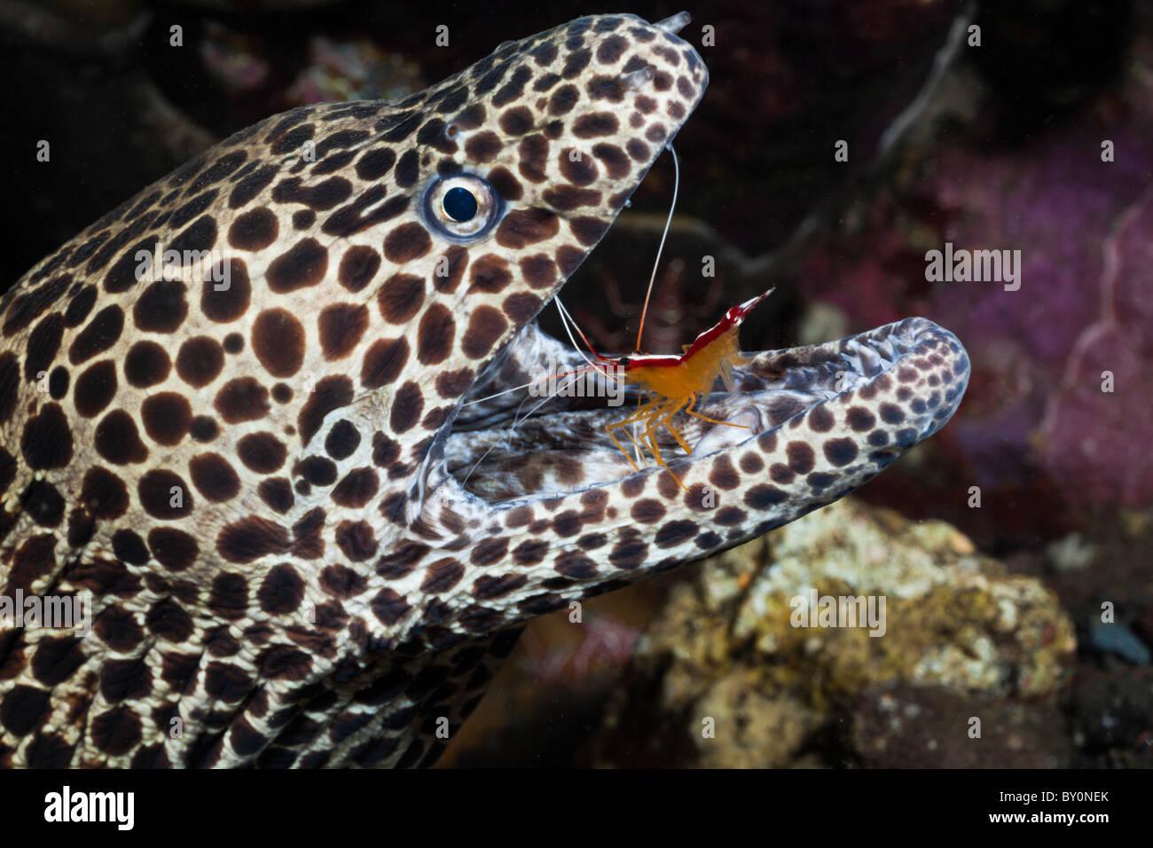 White-banded Cleaner Shrimp cleaning Honeycomb Moray, Lysmata amboinensis, Gymnothorax favagineus, Alam Batu, Bali, - Stock Image
