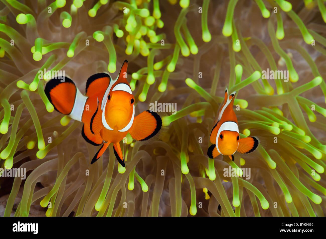 Clown Anemonefish, Amphiprion percula, Alam Batu, Bali, Indonesia - Stock Image