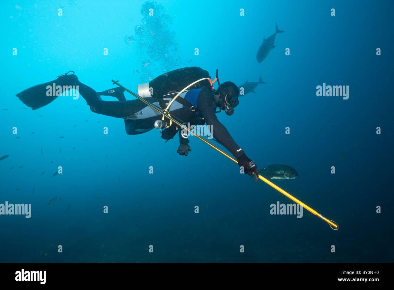 Researcher takes samples of Bull Shark Skin, Beqa Lagoon, Viti Levu, Fiji Stock Photo