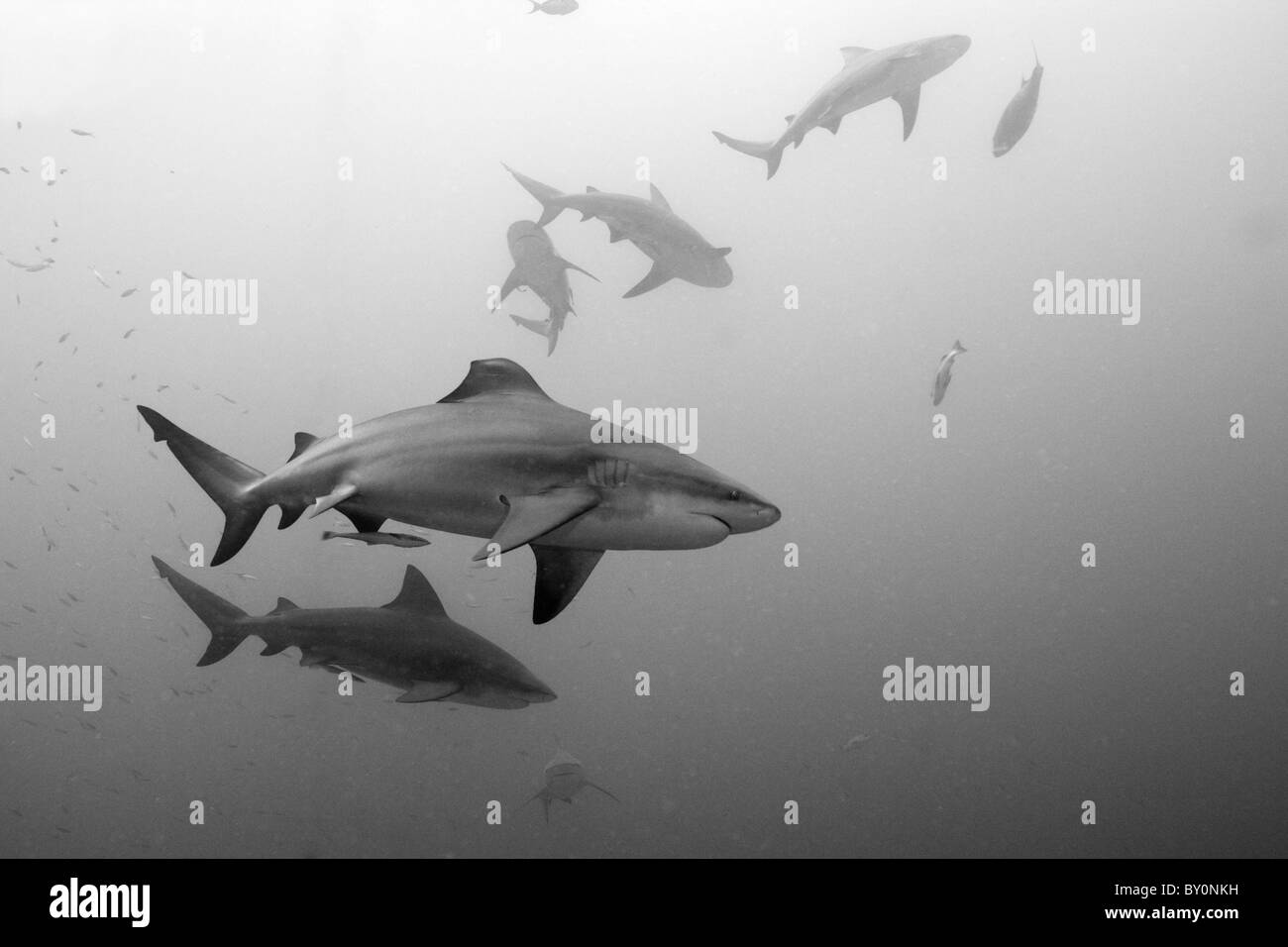 Bull Sharks, Carcharhinus leucas, Beqa Lagoon, Viti Levu, Fiji - Stock Image