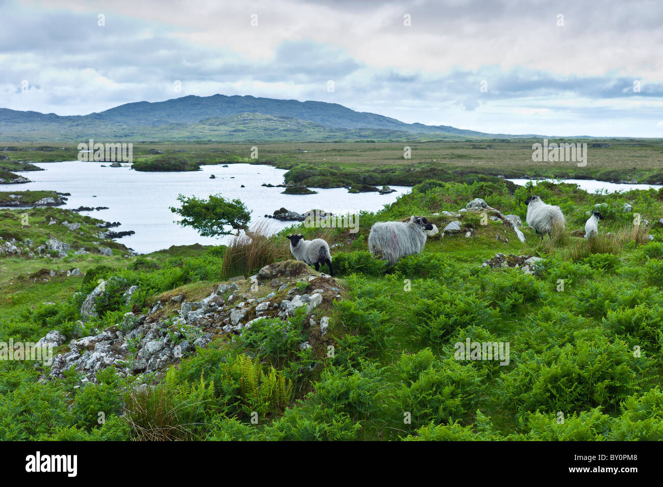 Mountain sheep and windblown tree on the Old Bog Road, near Roundstone, Connemara, County Galway - Stock Image