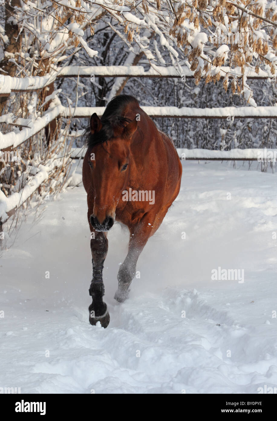 Skipping sorrel horse in winter ranch - Stock Image