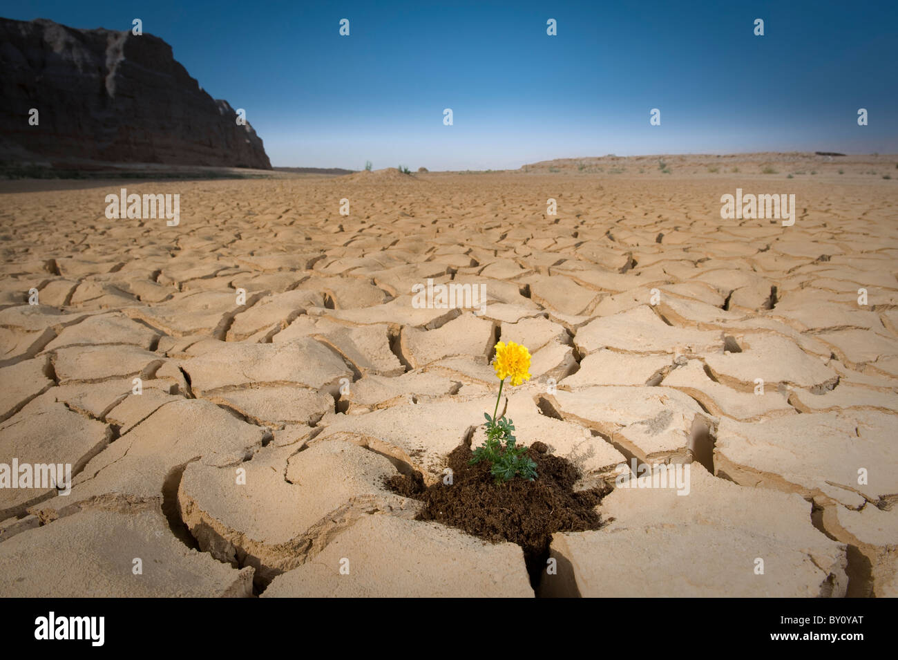 small plant with yellow flower cracked soil  - Stock Image