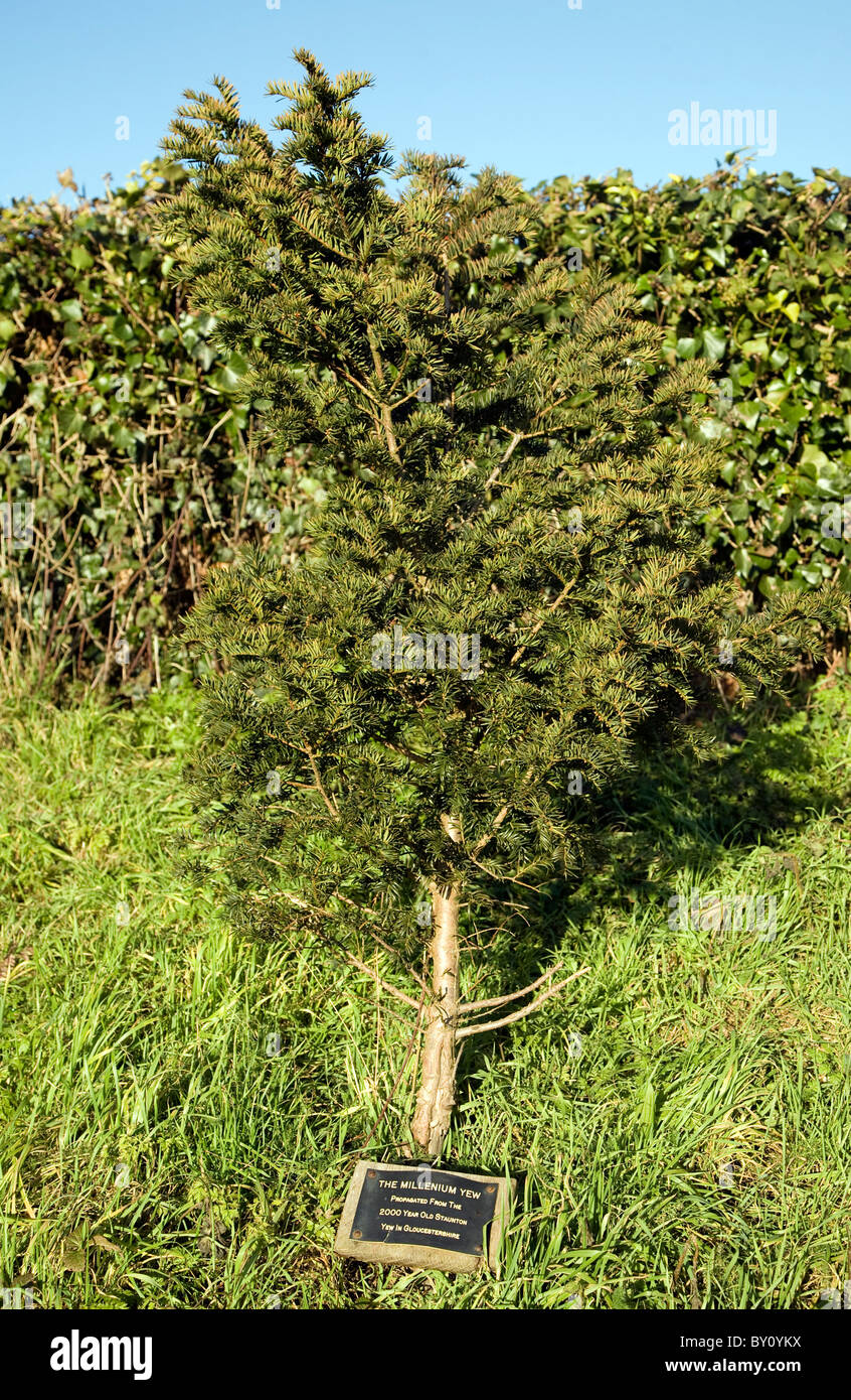 Millenium Yew tree propagated from Staunton Yew, Ramsholt, Suffolk, England - Stock Image