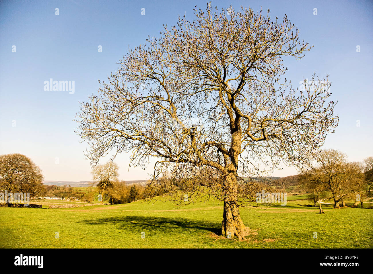 Ash tree Fraxinus excelsior in early spring growing in typical upland limestone habitat in the Derbyshire Peak District - Stock Image