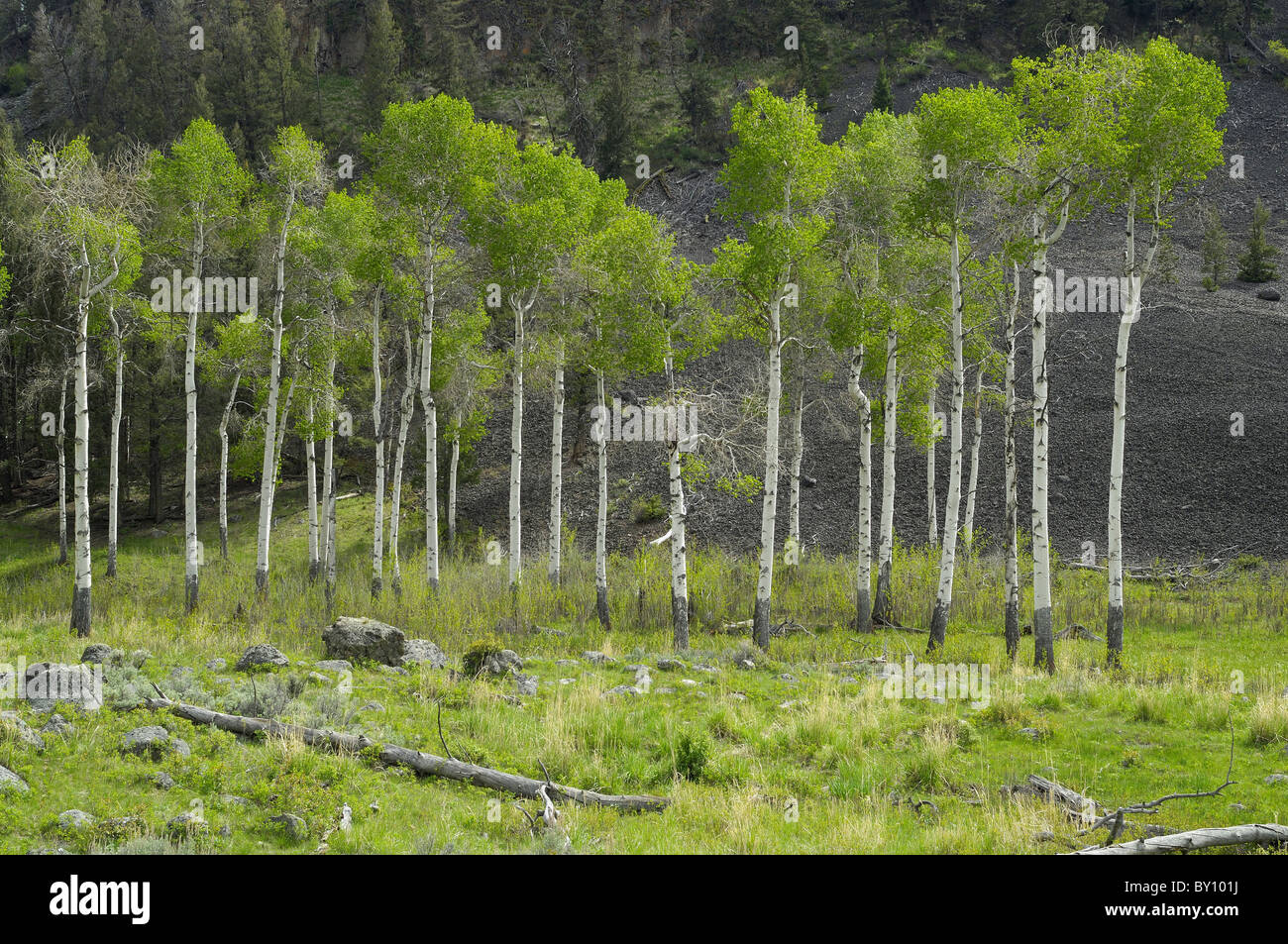 Aspen trees against a rocky cliff in Yellowstone National Park. - Stock Image