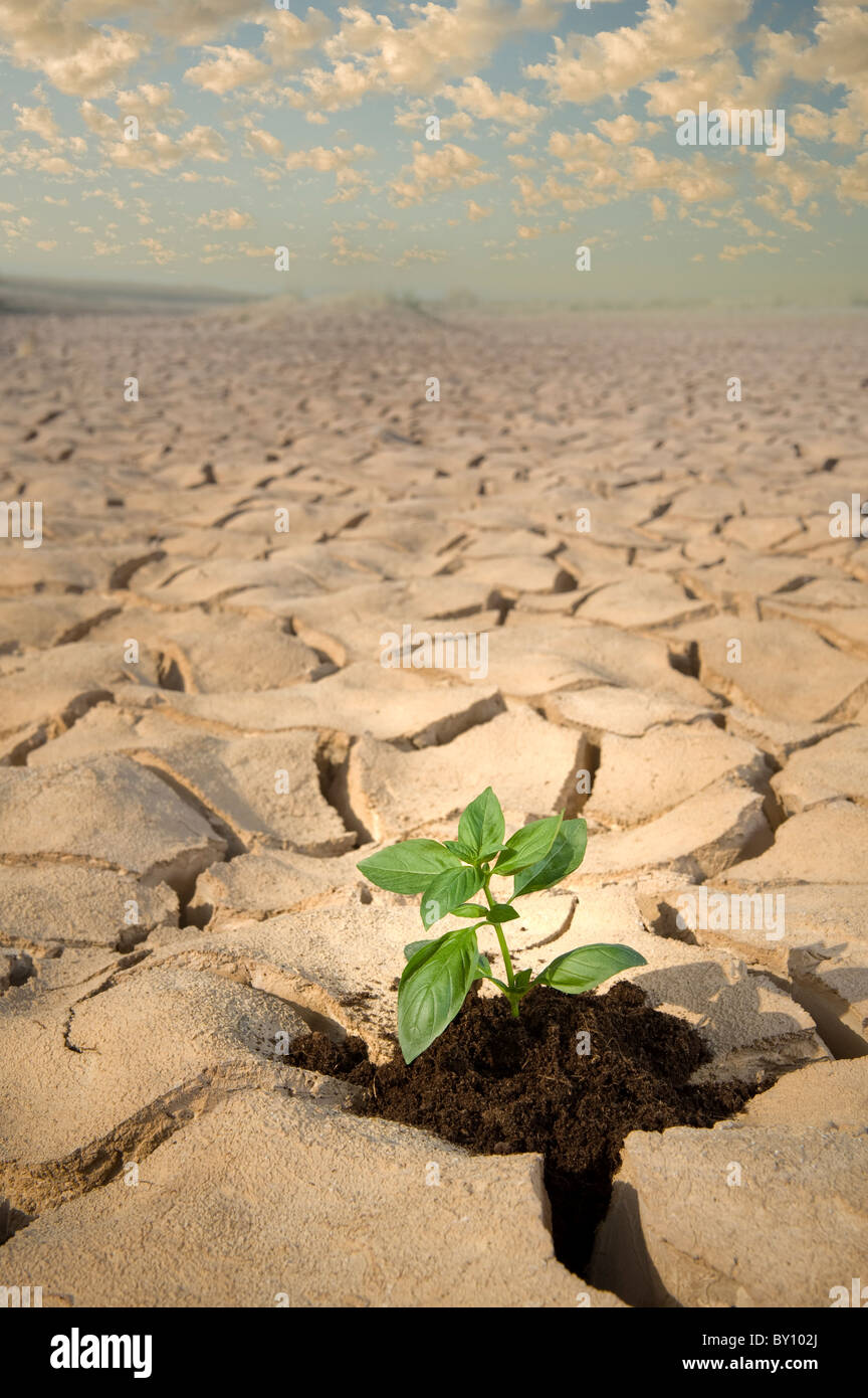 small Basil plant in apile of soil on a cracked soil surface - Stock Image