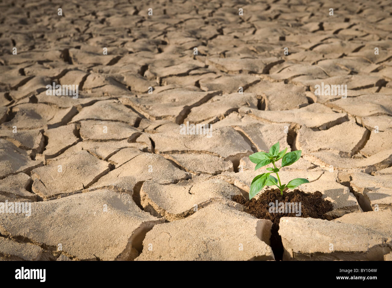 small Basil plant in apile of soil on a cracked soil surface Stock Photo