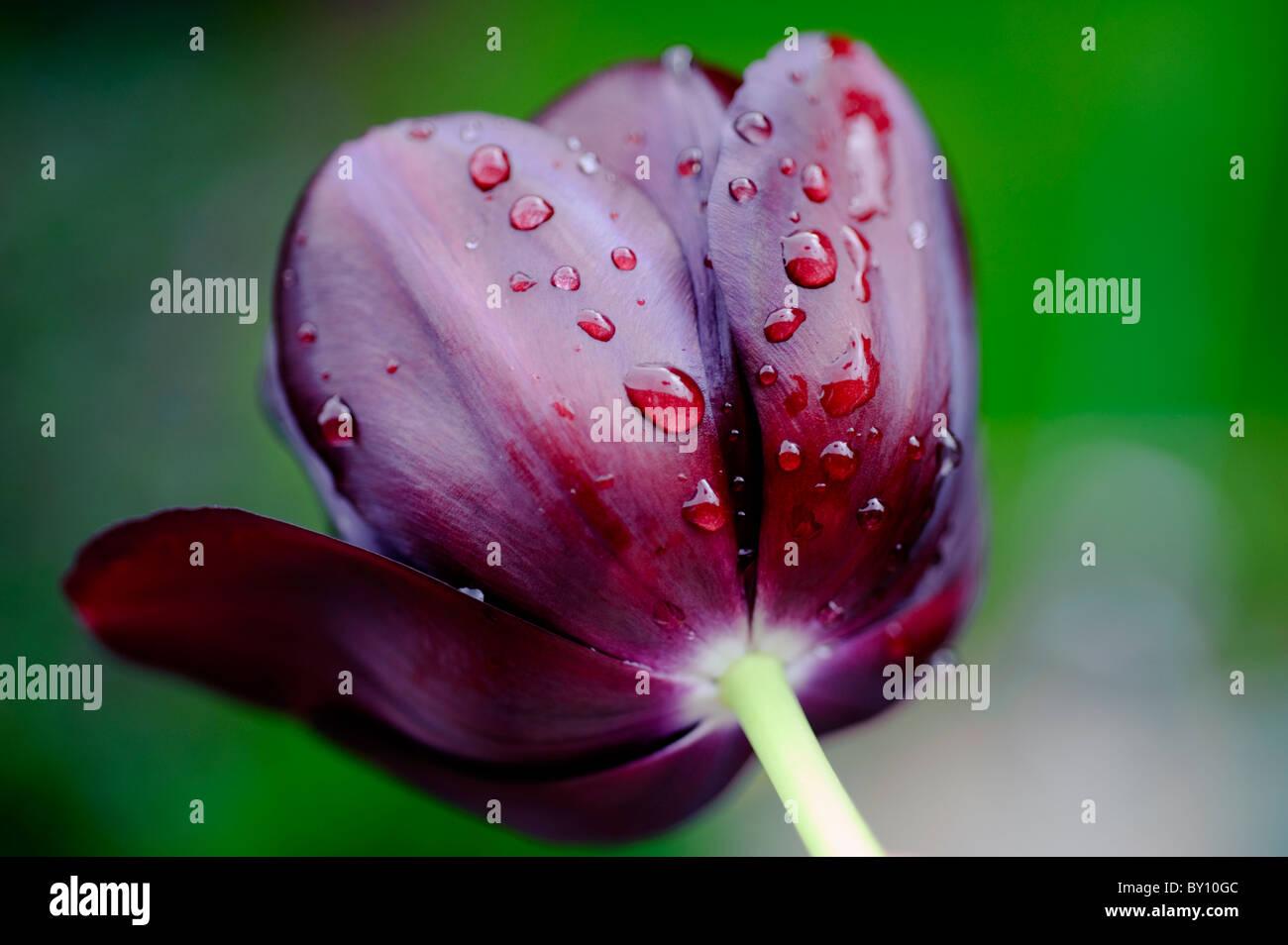 Raindrops on Black Tulip - Stock Image