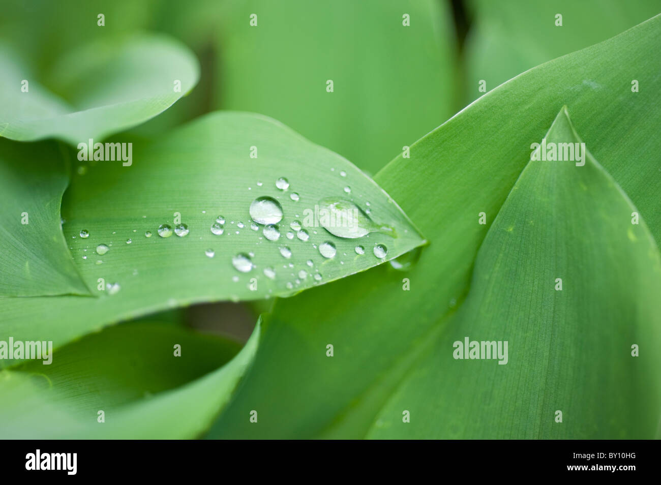 Raindrops on Lily of the Vally leaves - Stock Image