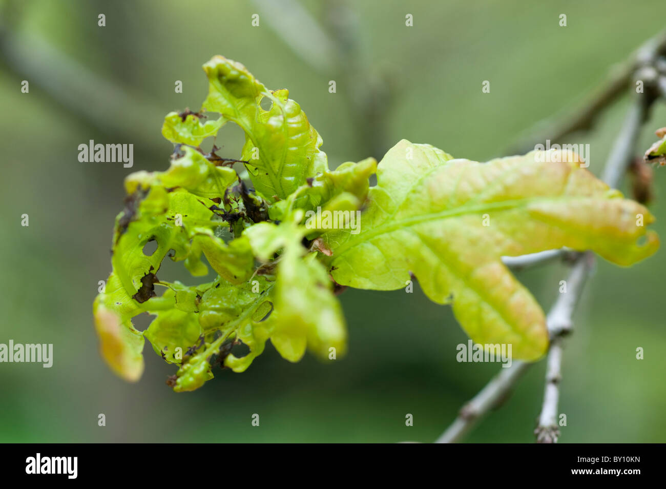 Diseased oak tree leaves - Stock Image