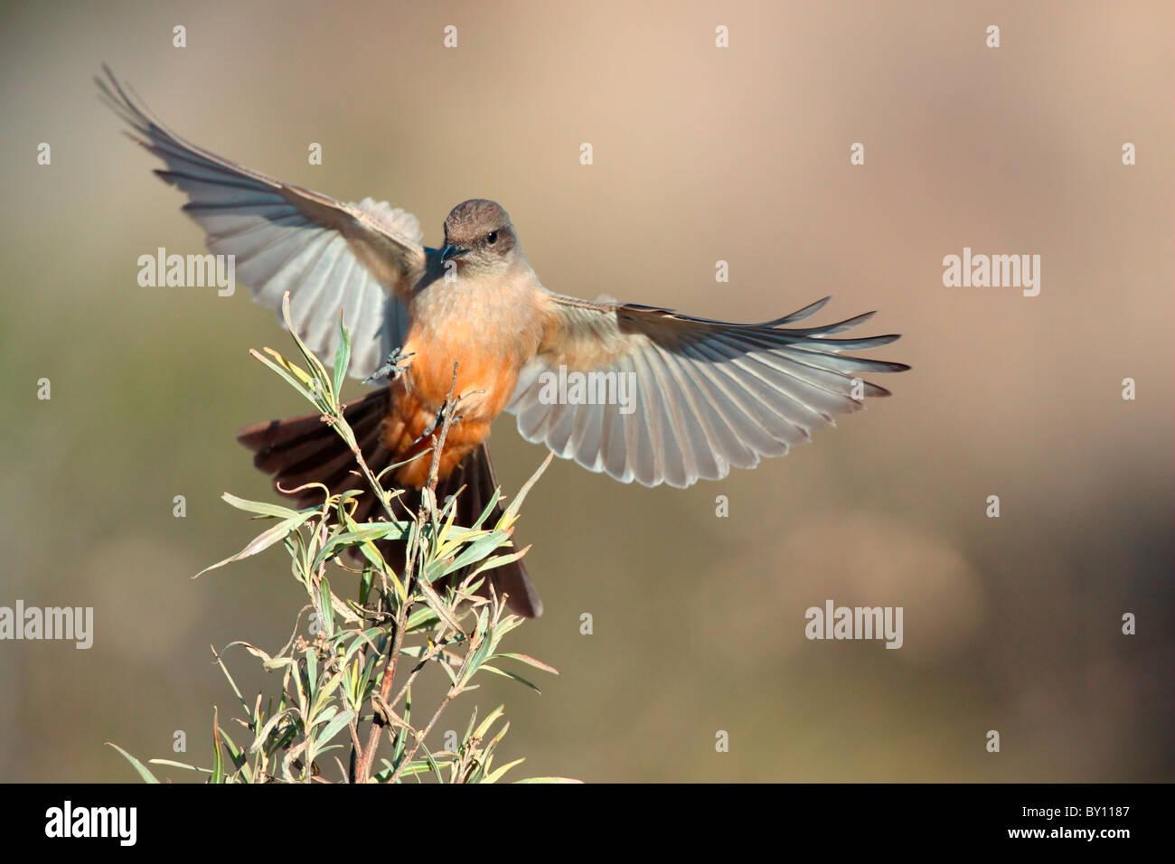 Say's Phoebe landing. - Stock Image