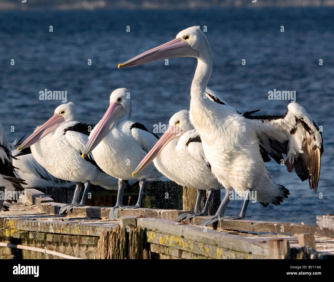 Small flock of Australian Pelicans Pelecanus conspicillatus preparing to roost on wooden jetty near Albany in Western - Stock Image