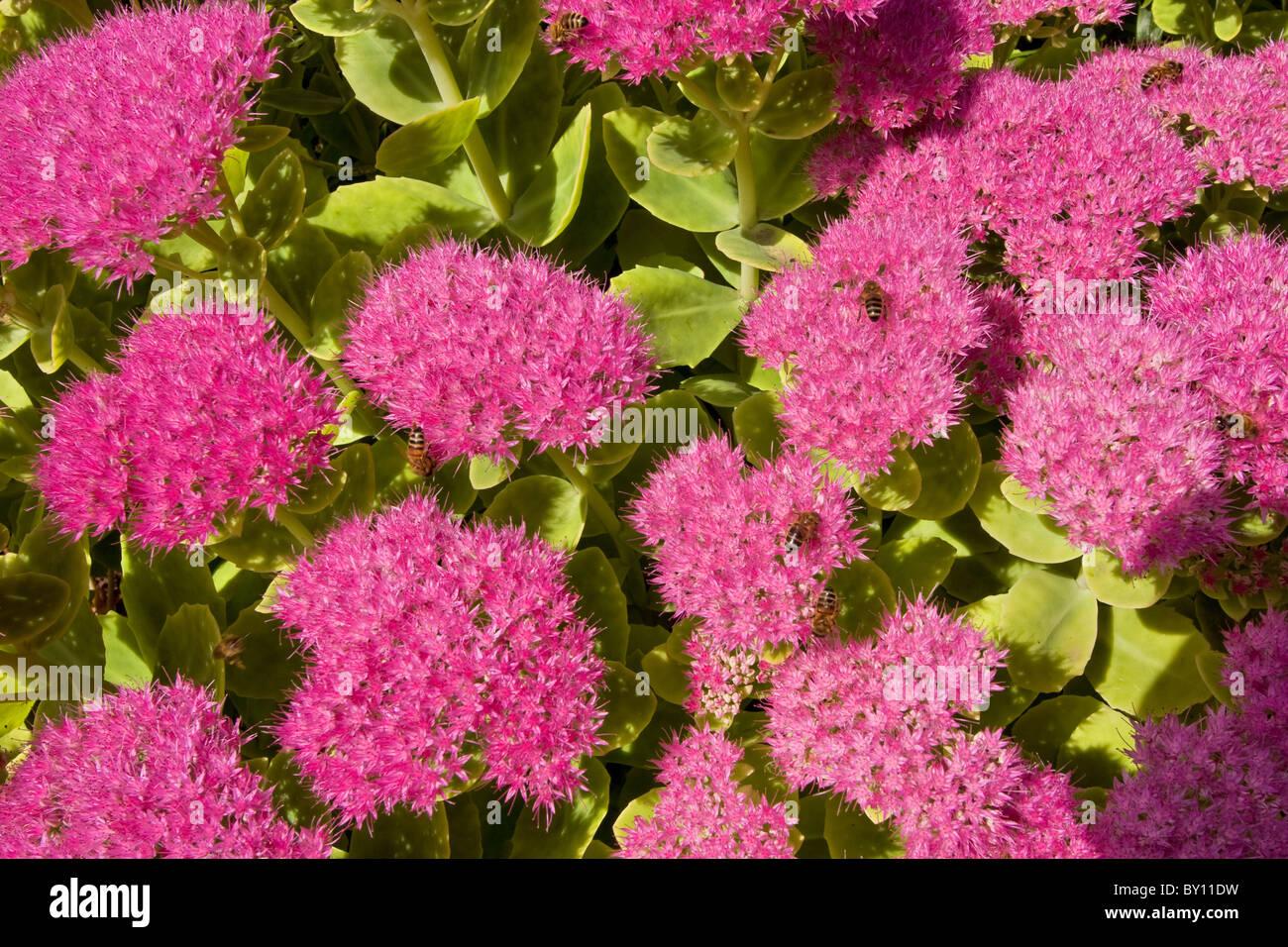 Sedum Spectabile Stock Photos Sedum Spectabile Stock Images Alamy