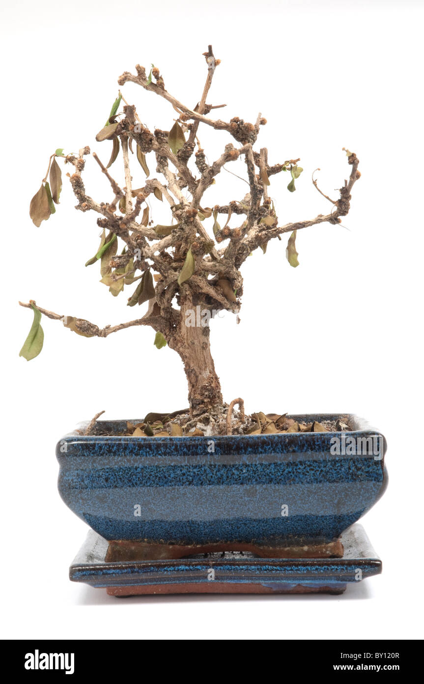Dead Bonsai Tree Stock Photo Alamy