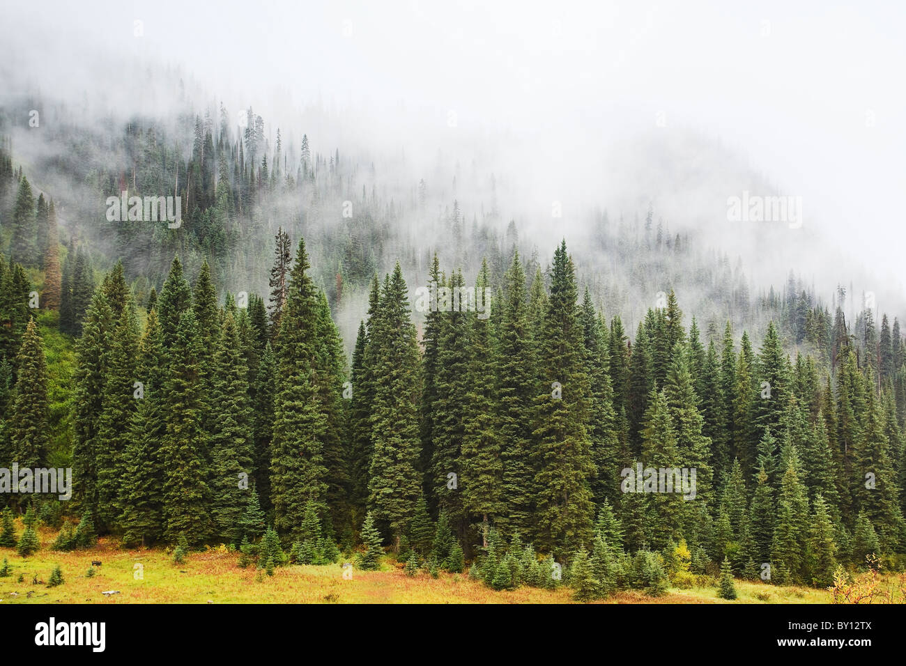 Foggy evergreen forest in the Canadian Rockies.  Yoho National Park, British Columbia, Canada. - Stock Image