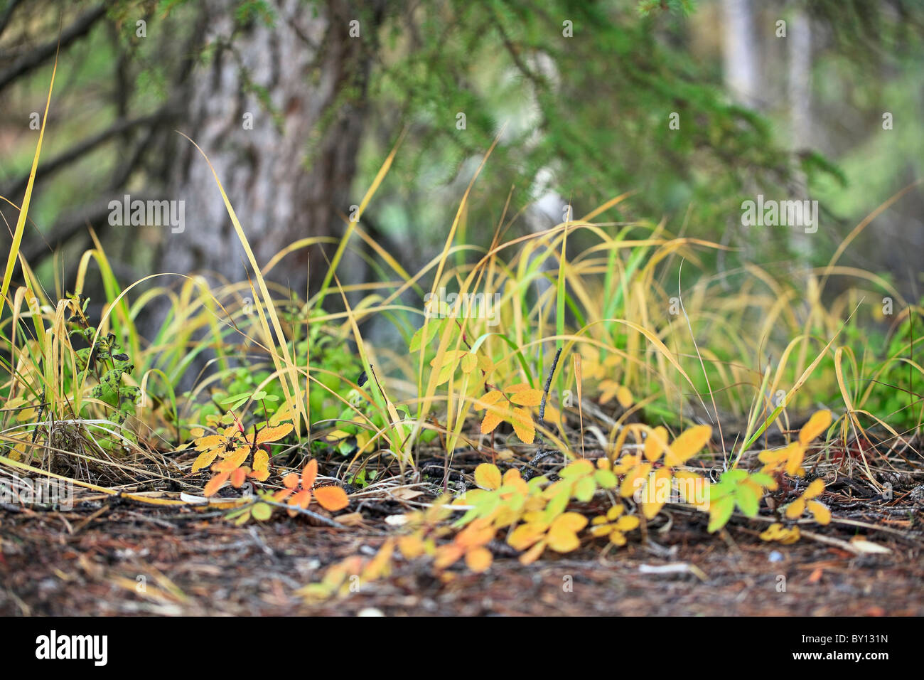 Grasses and foliage growing on forest floor.  Yoho National Park, British Columbia, Canada. - Stock Image