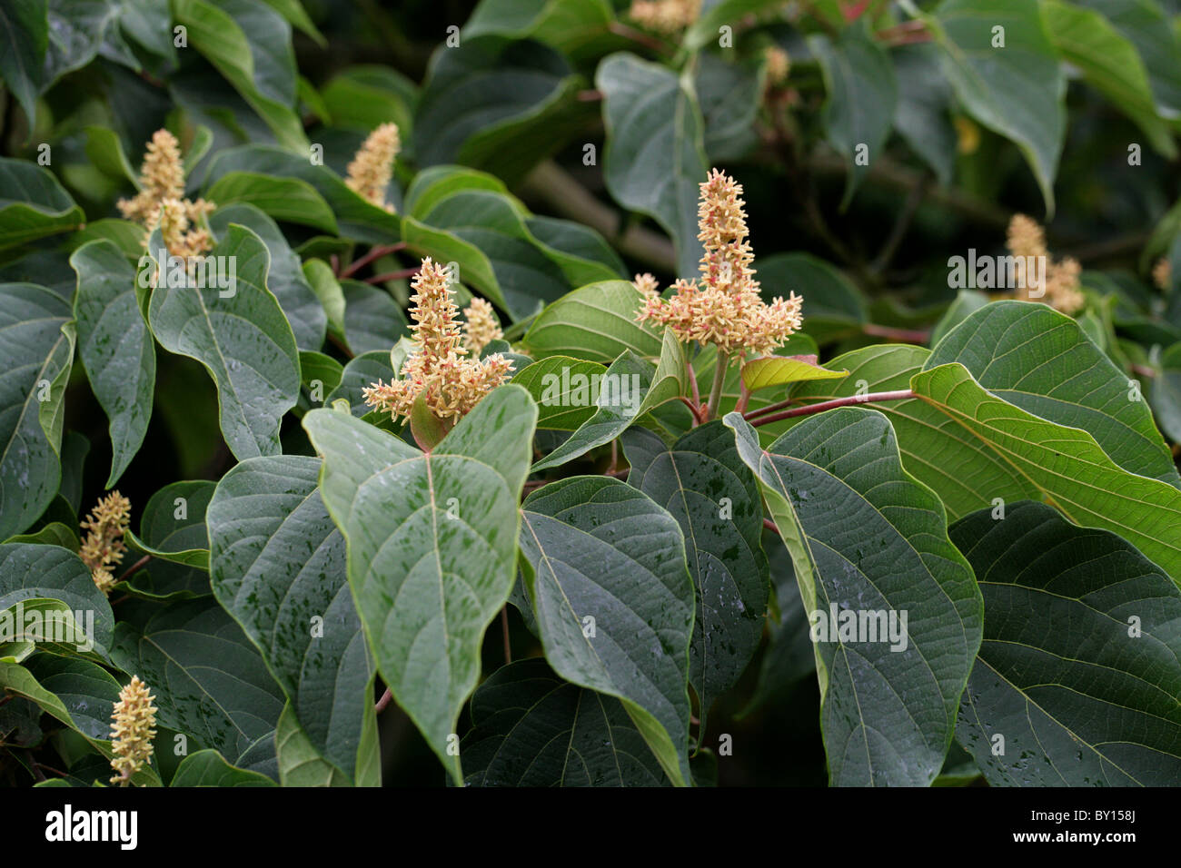 Food Wrapper Plant, Japanese Mallotus, Mallotus japonicus, Euphorbiaceae, Japan, Taiwan, S. China to Temperate E. - Stock Image