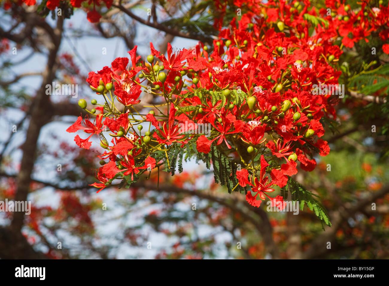 Flamboyant tree in full bloom, Botanical gardens Trinidad - Stock Image