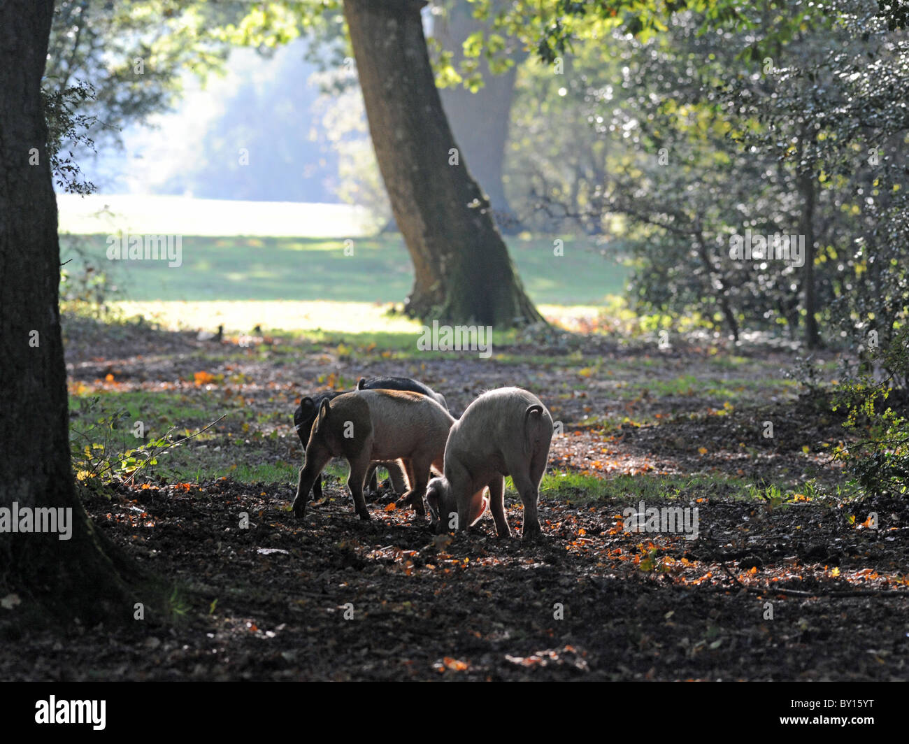 Pigs in the New Forest, Hampshire hunting for acorns by digging with their snouts. - Stock Image