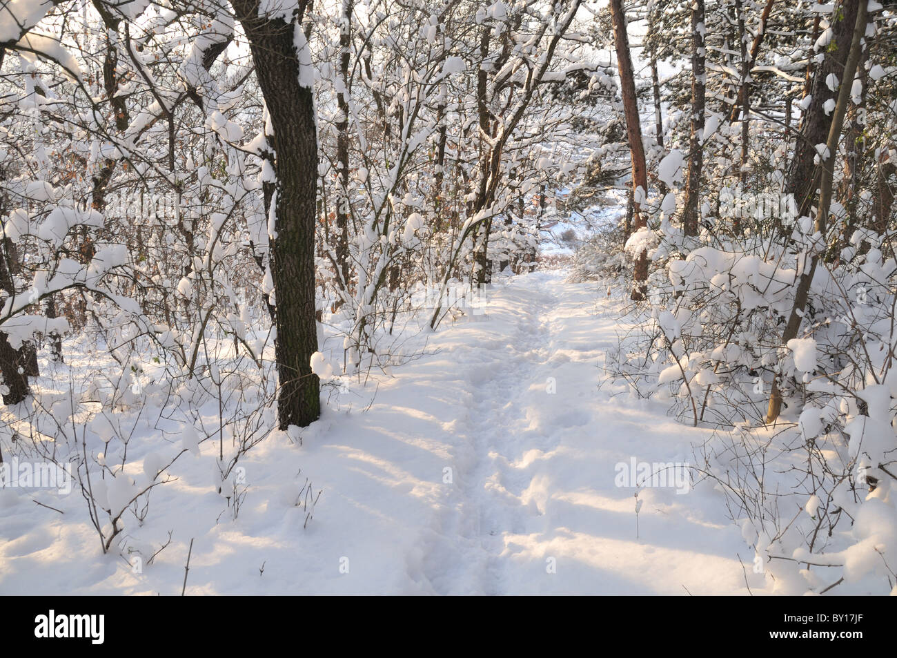 Forest in winter with deep snow all around Stock Photo