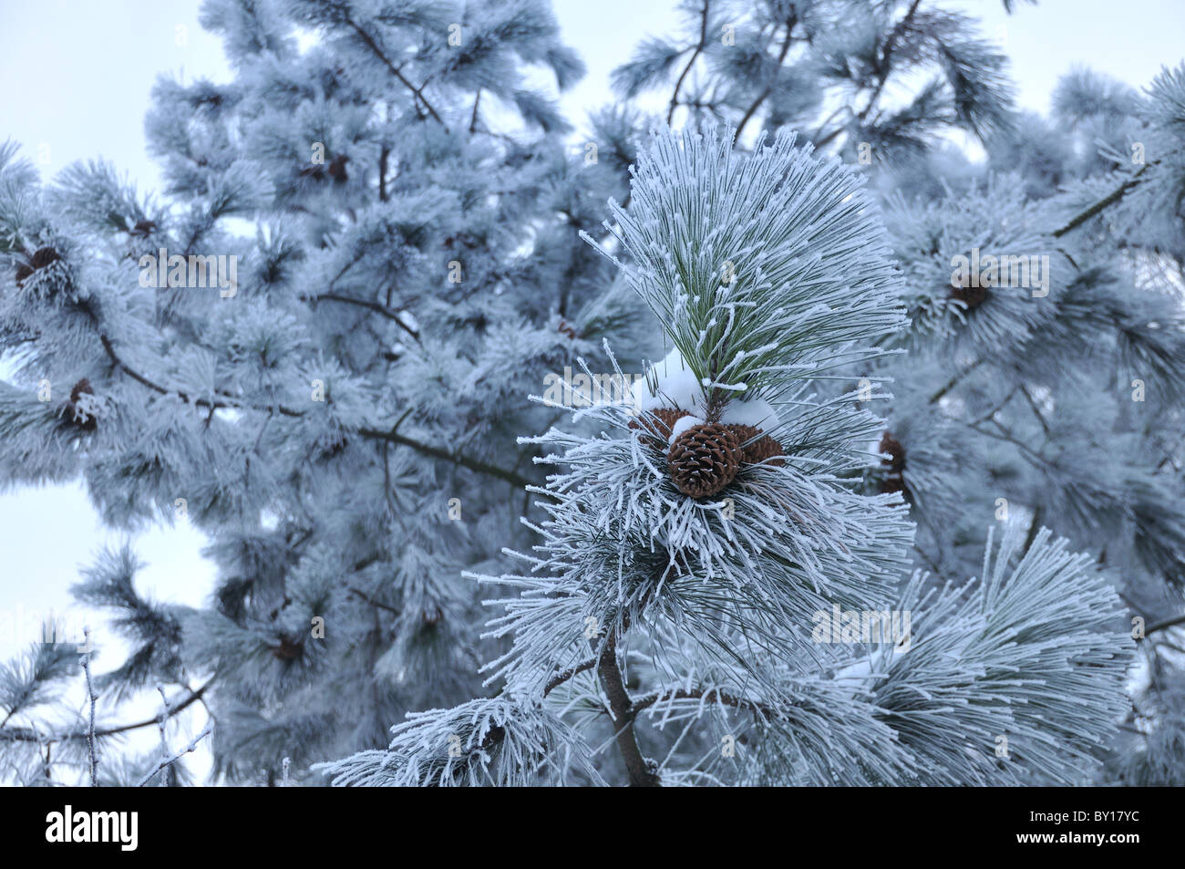 Pine tree covered in frost - Stock Image