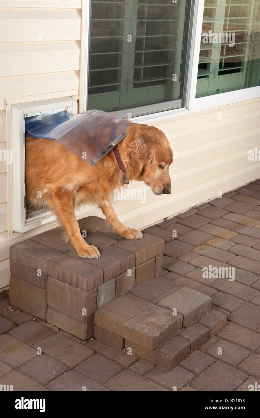 A golden retriever pet walks through a home's doggie door. - Stock Image