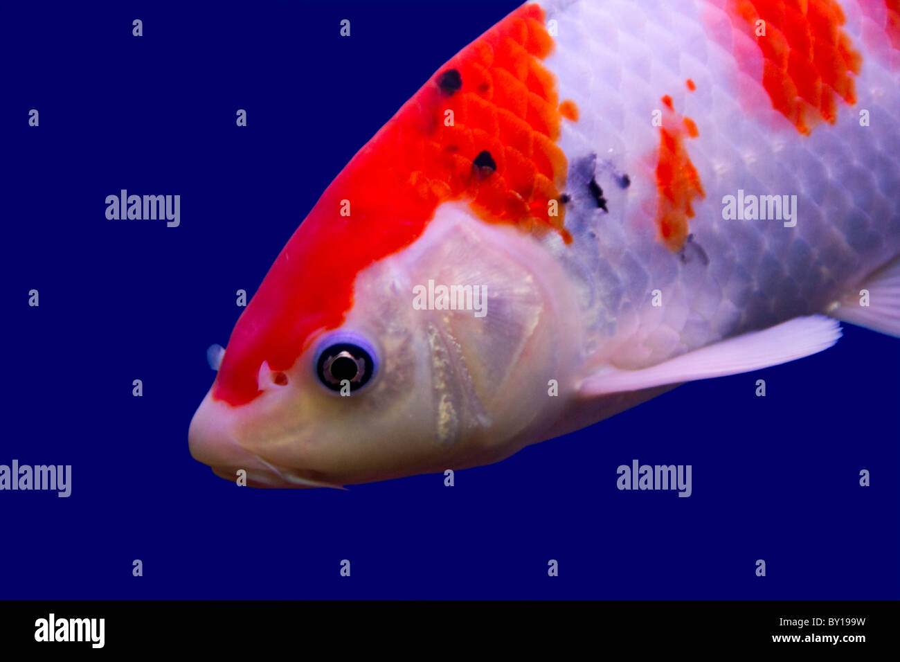 Golden Koi Carp Stock Photos & Golden Koi Carp Stock Images - Page 3 ...