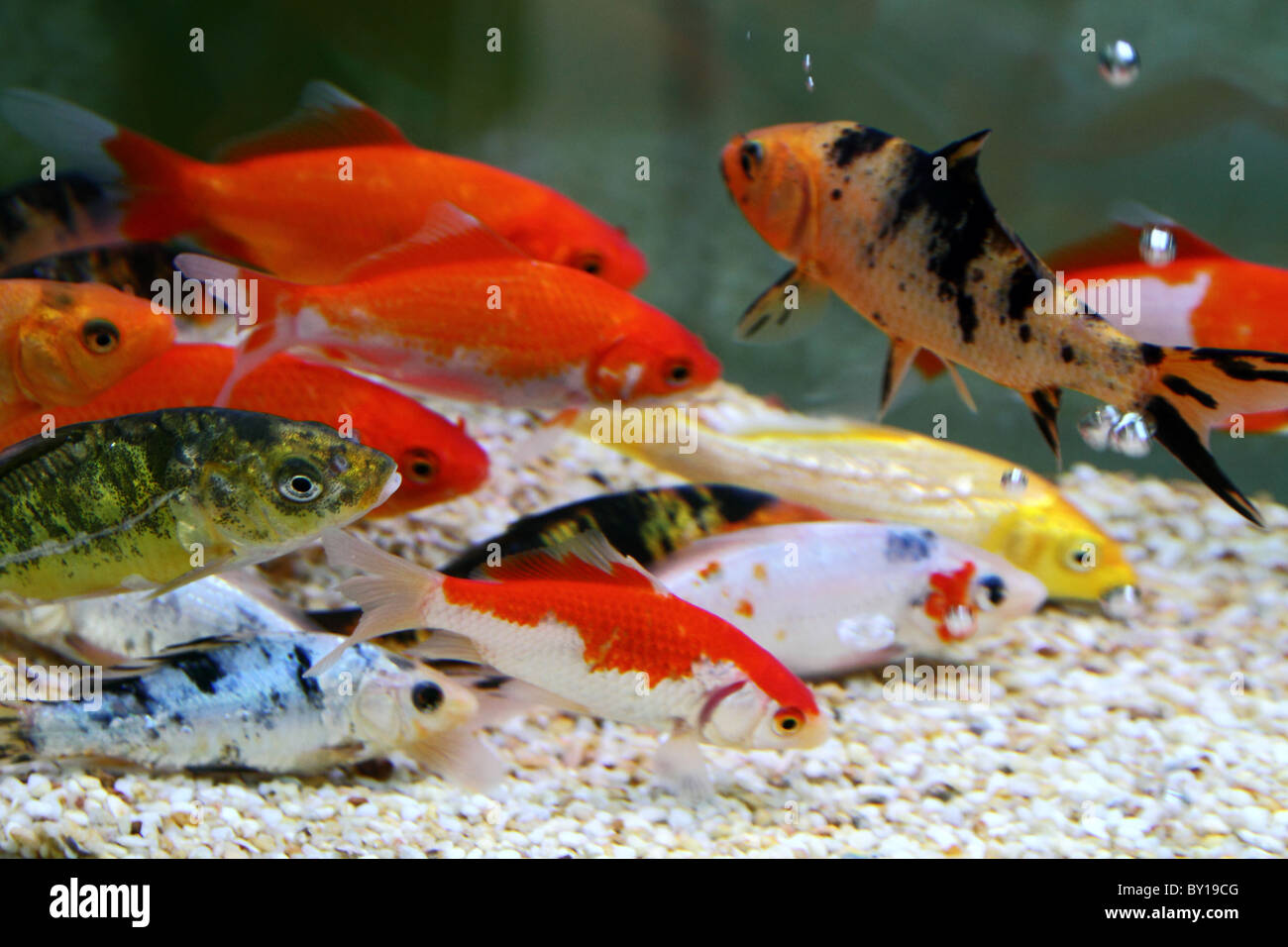 Big colorful Koi carp in a aquarium Stock Photo: 33835440 - Alamy