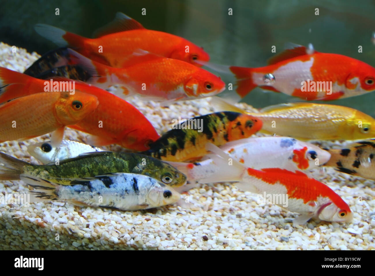 Big colorful Koi carp in a aquarium Stock Photo: 33835449 - Alamy
