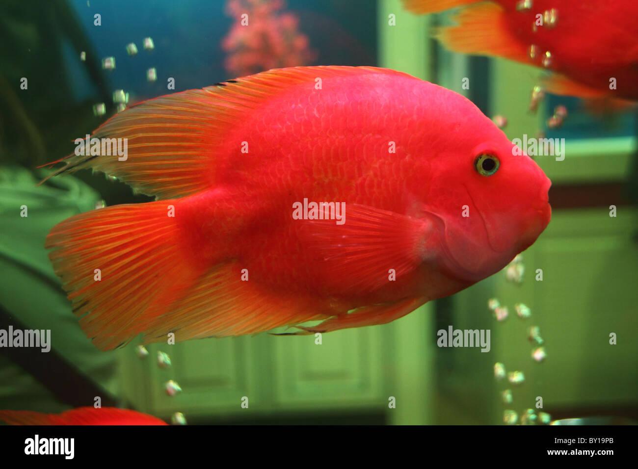 colorful goldfish in a aquarium Stock Photo: 33835715 - Alamy