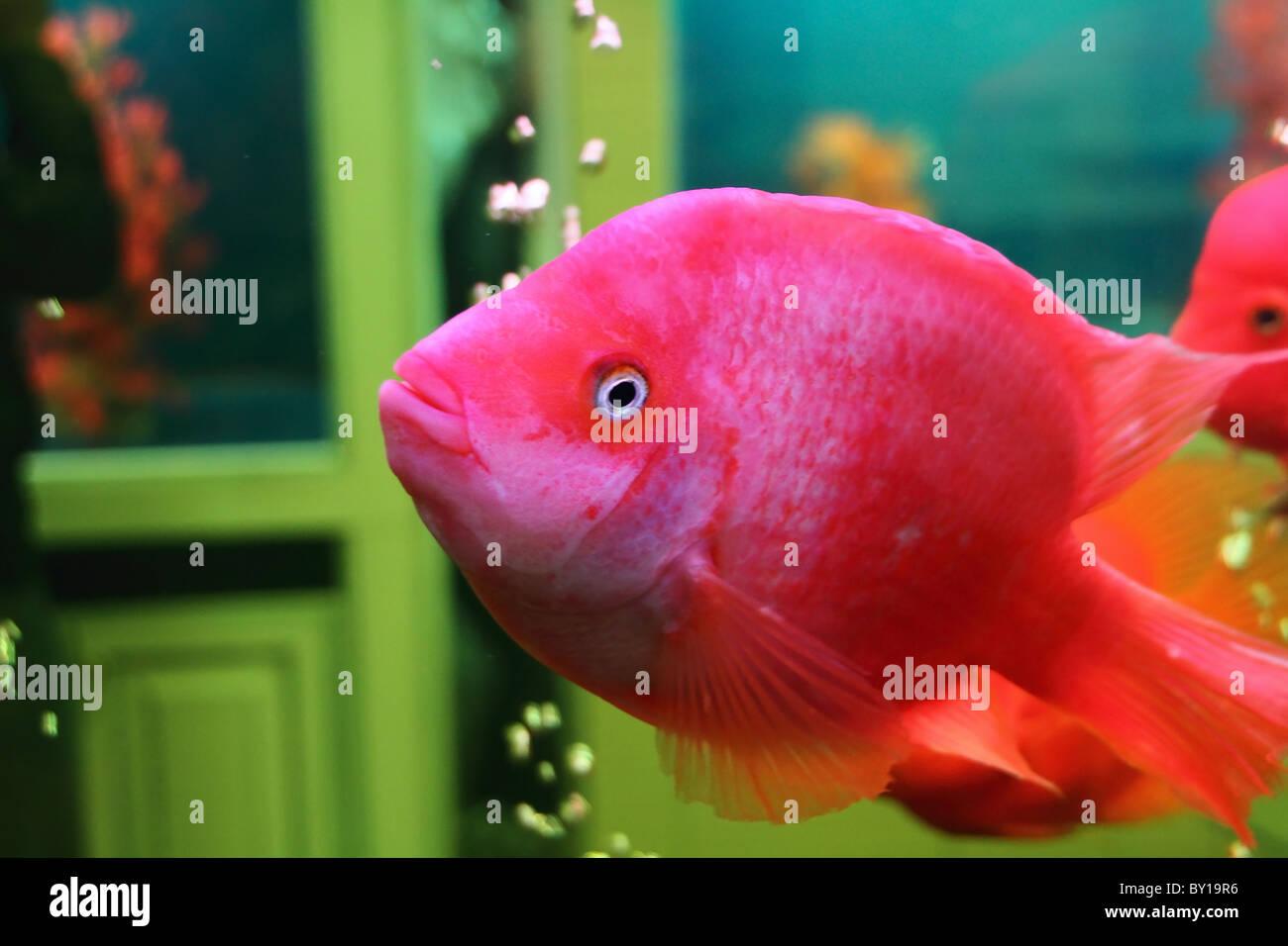 colorful goldfish in a aquarium Stock Photo: 33835738 - Alamy