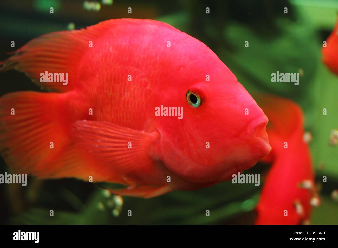 colorful goldfish in a aquarium Stock Photo: 33835749 - Alamy