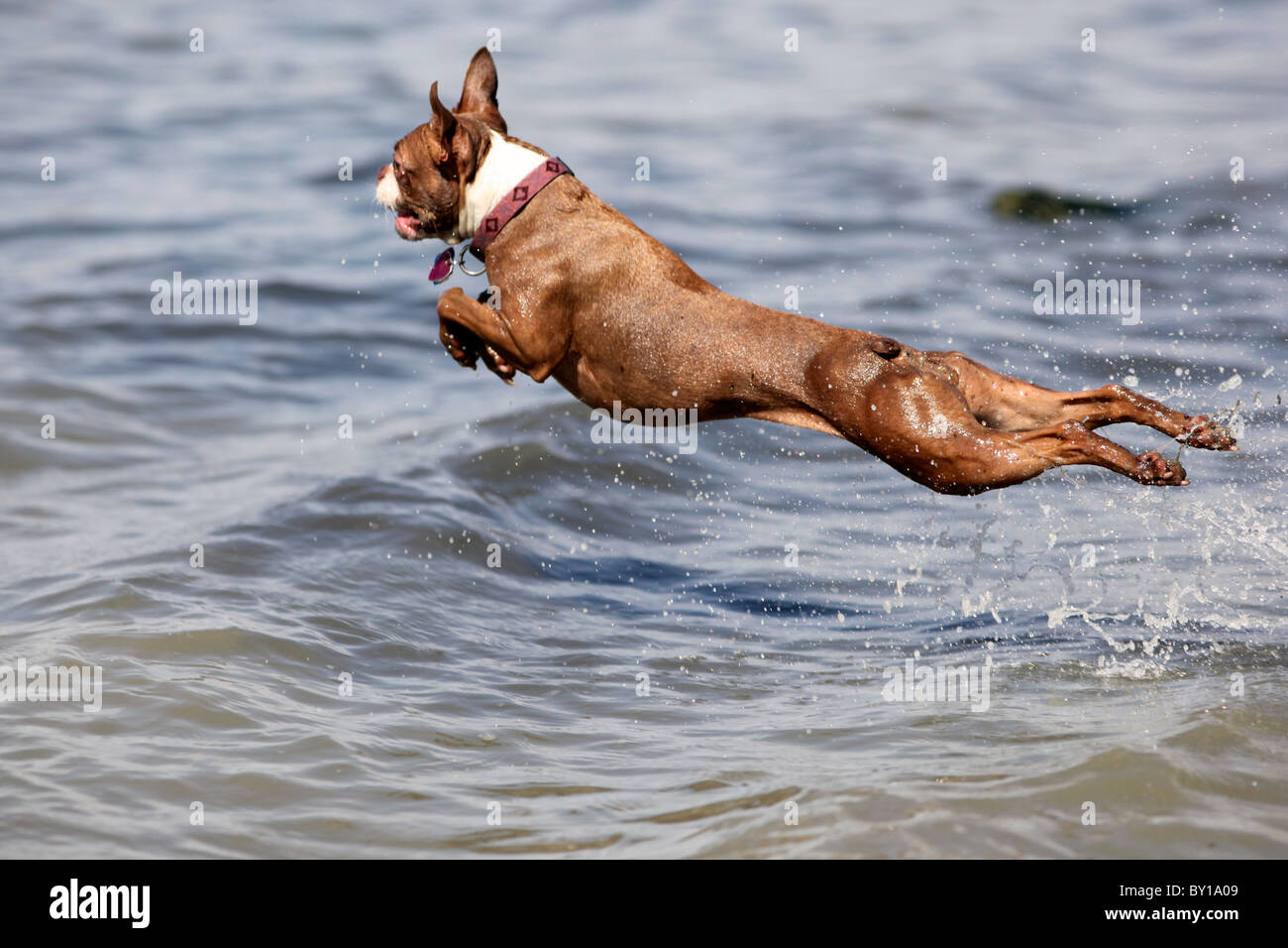 A red brown boston terrier dog leaps into the water flying in mid air Stock Photo