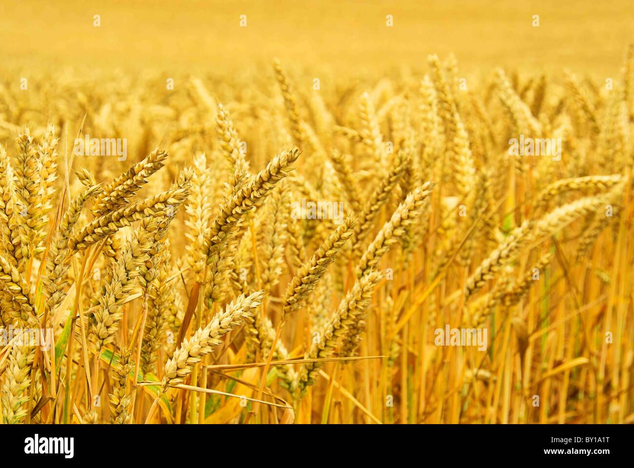 Weizenfeld - wheat field 03 Stock Photo