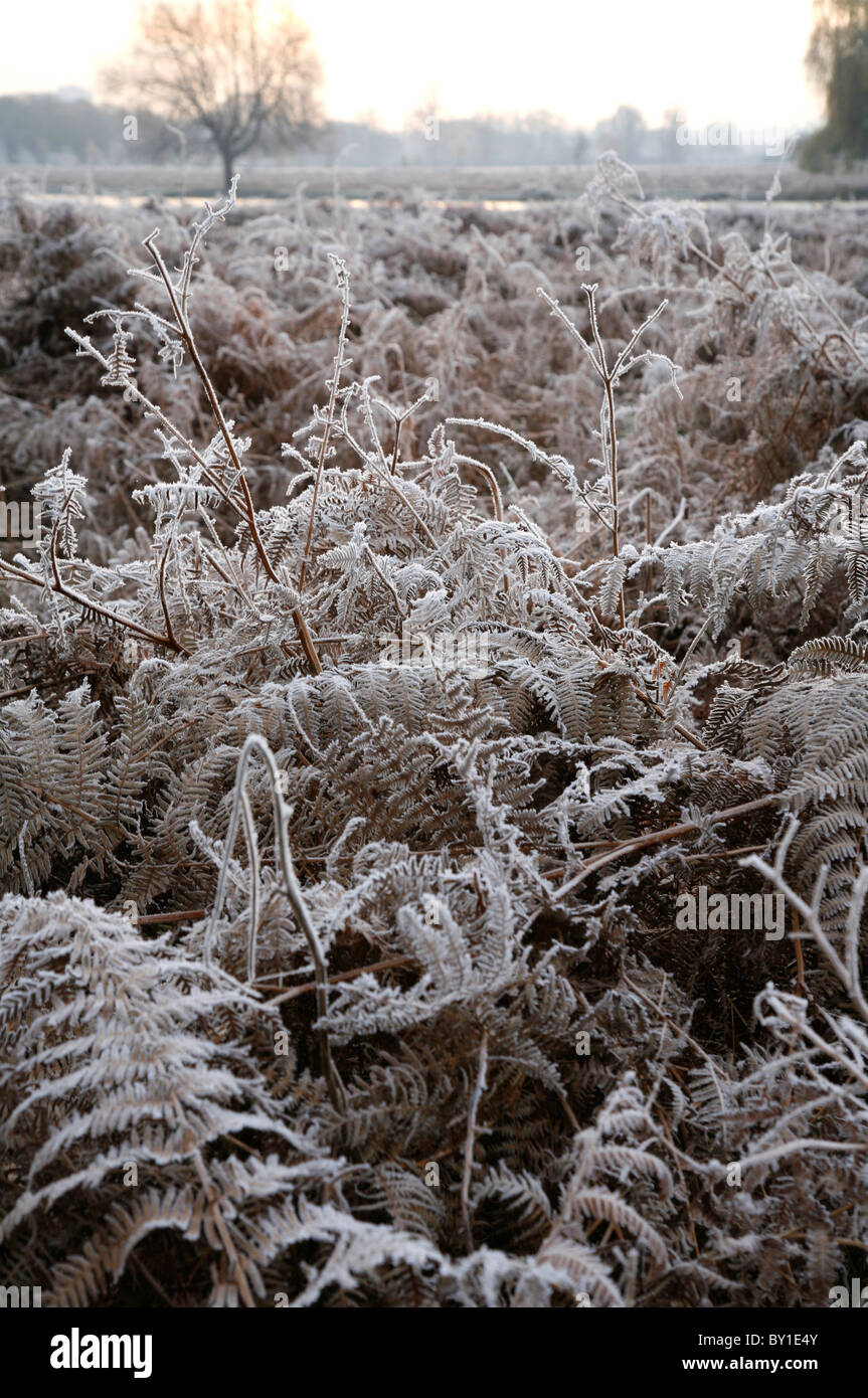 Frost encrusted bracken by the Leg of Mutton Pond on Bushy Park, Teddington, London, UK - Stock Image
