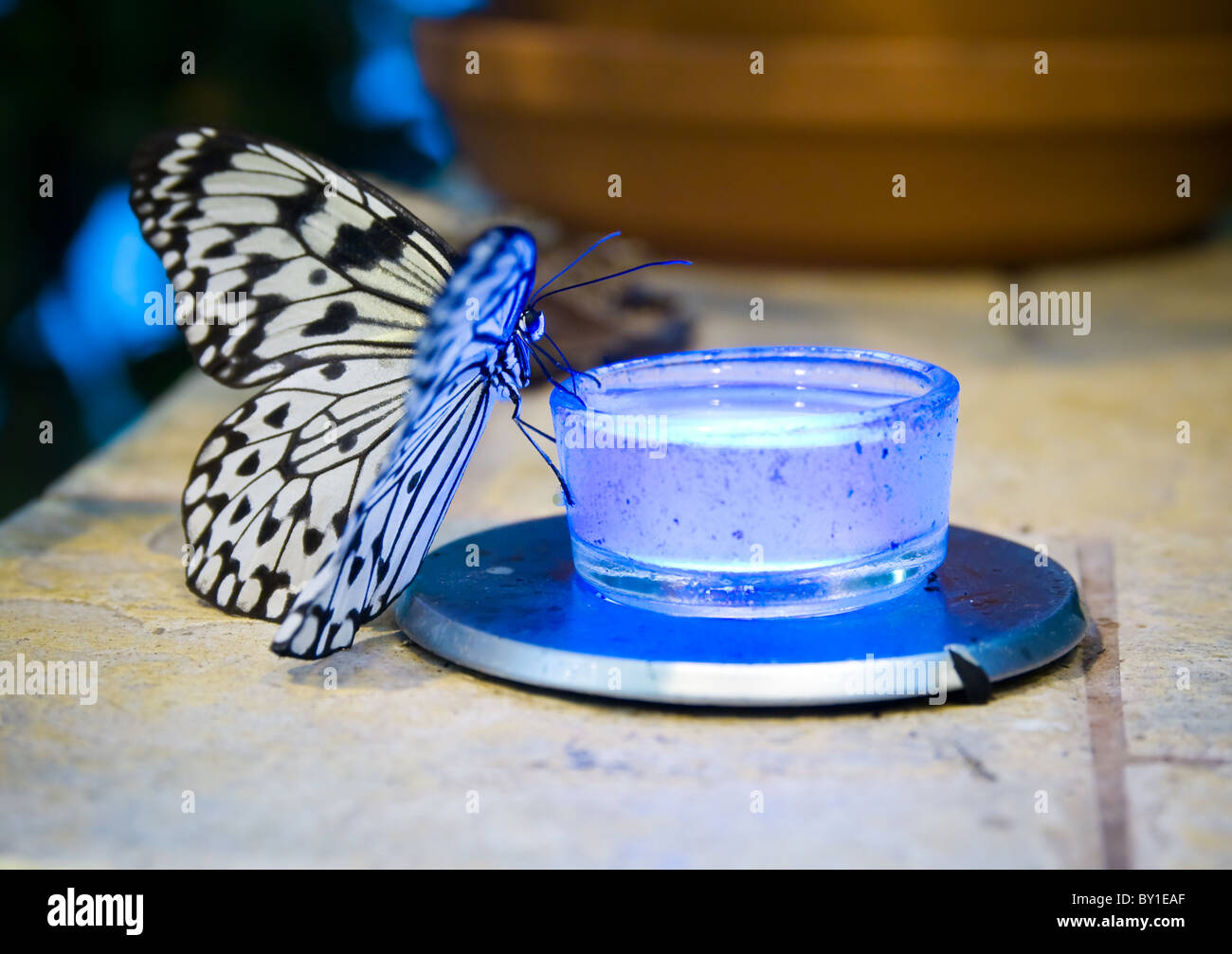 Idea leuconoe (Rice Paper) butterfly - Stock Image