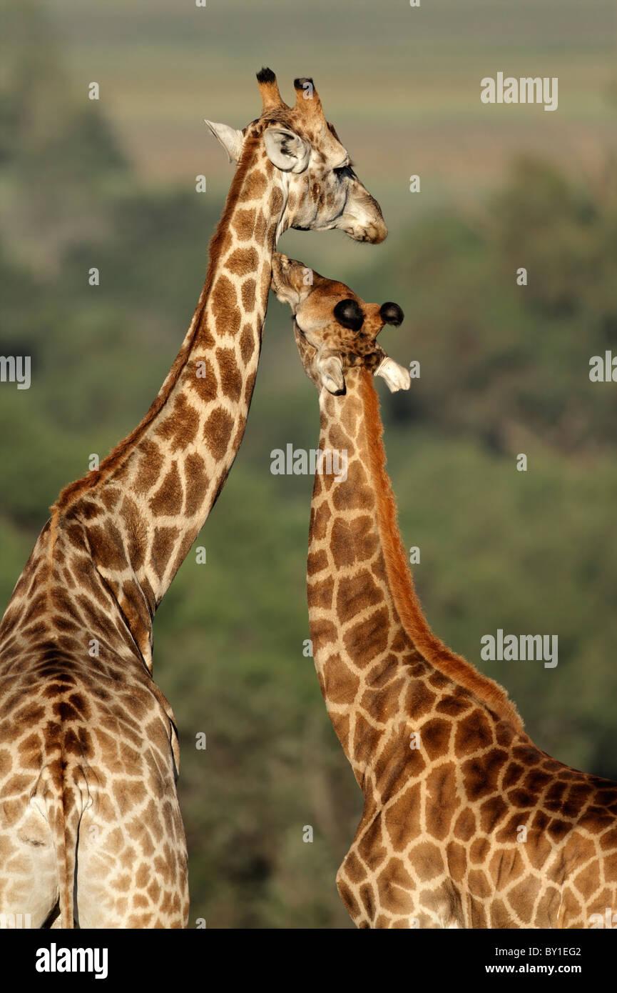 Interaction between two giraffes (Giraffa camelopardalis), South Africa - Stock Image