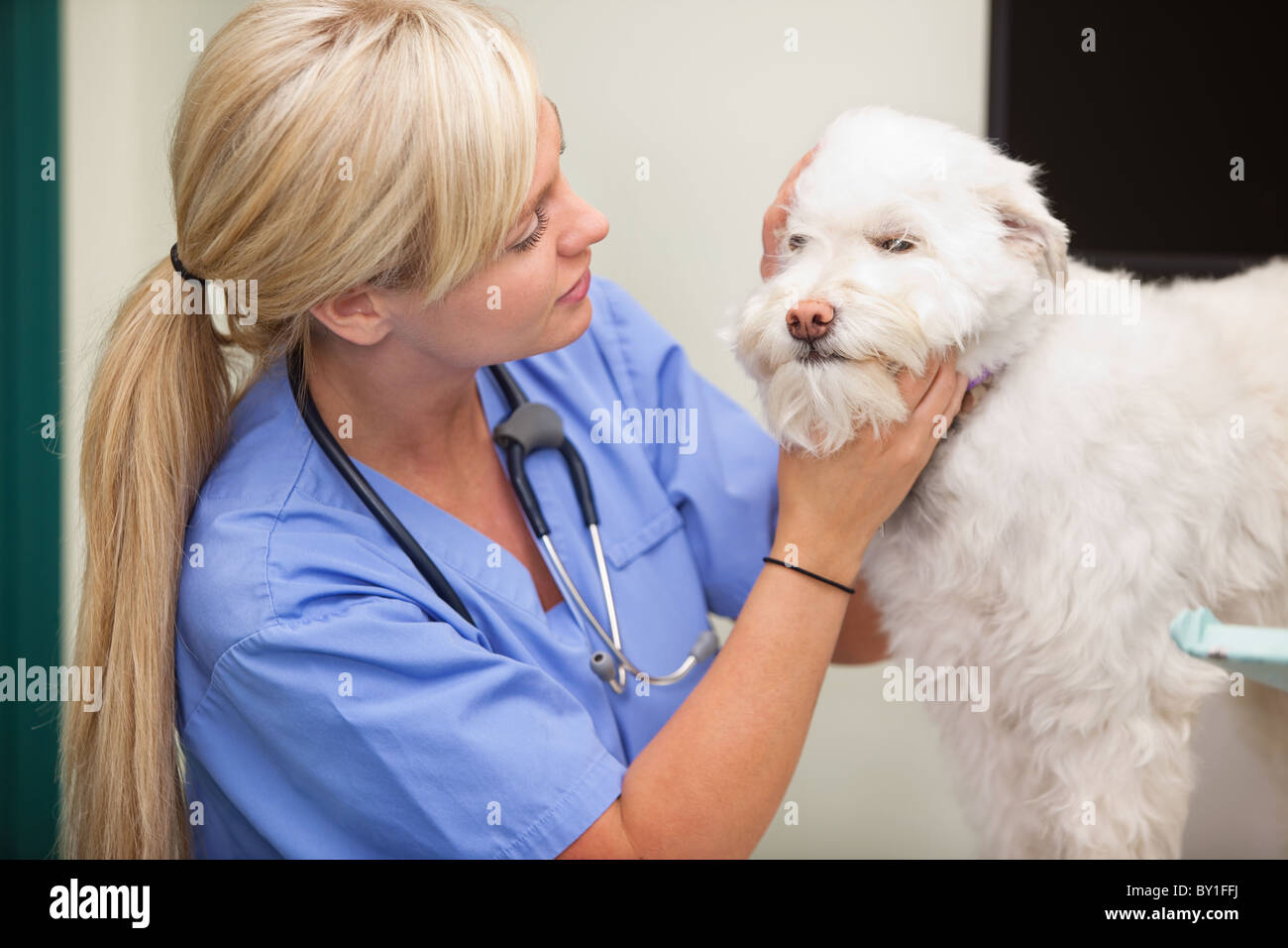 Close-up of blond female veterinarian examining dog - Stock Image