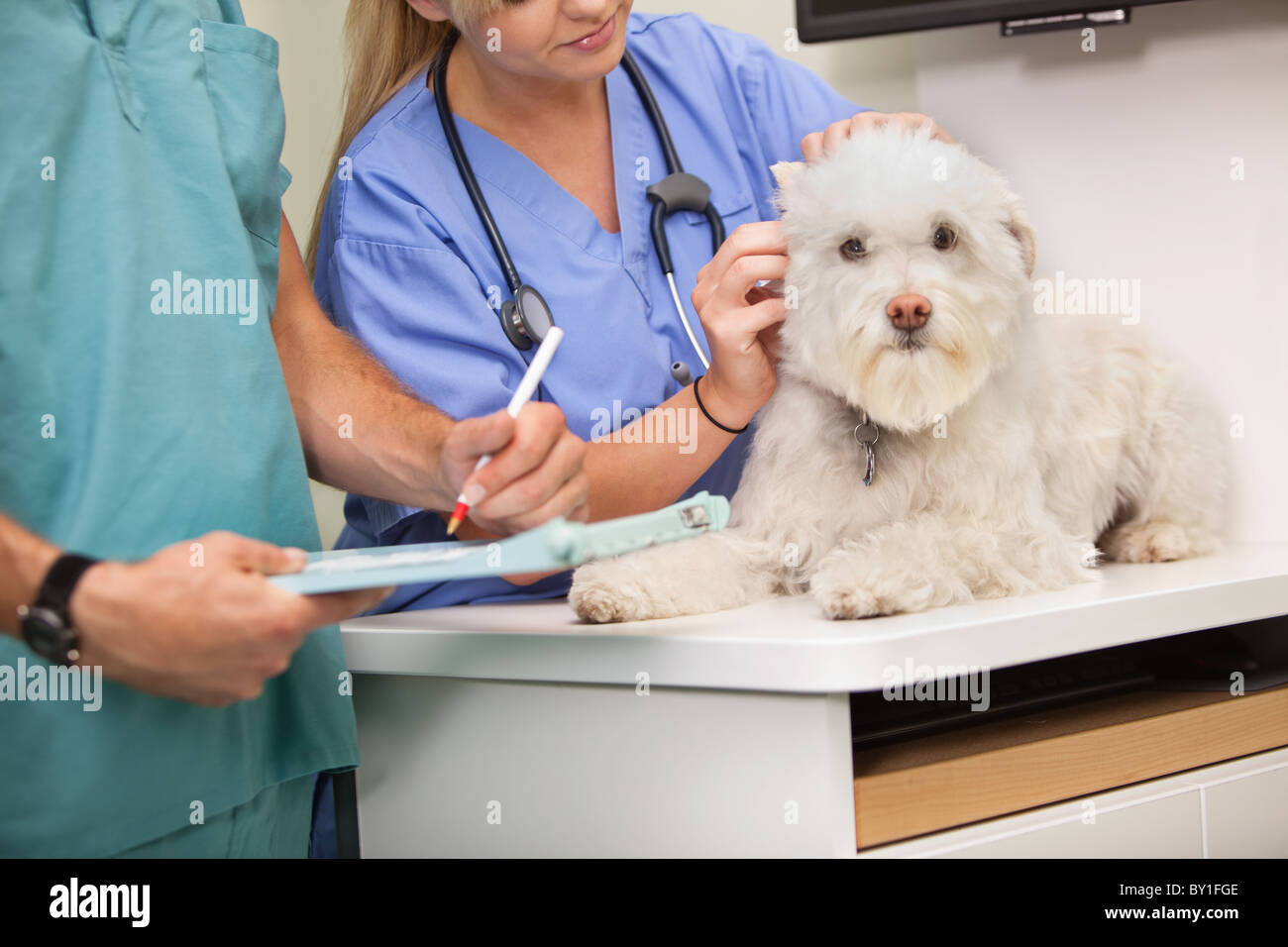 Mid section of veterinarian and assistant examining dog - Stock Image
