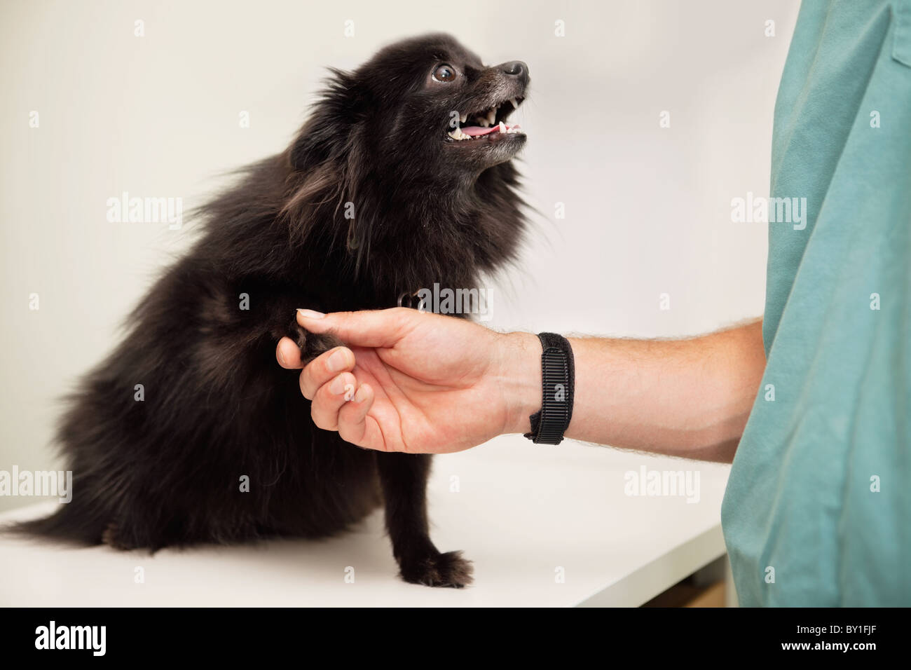 Close-up of veterinarian examining dog's paw - greeting pet - Stock Image