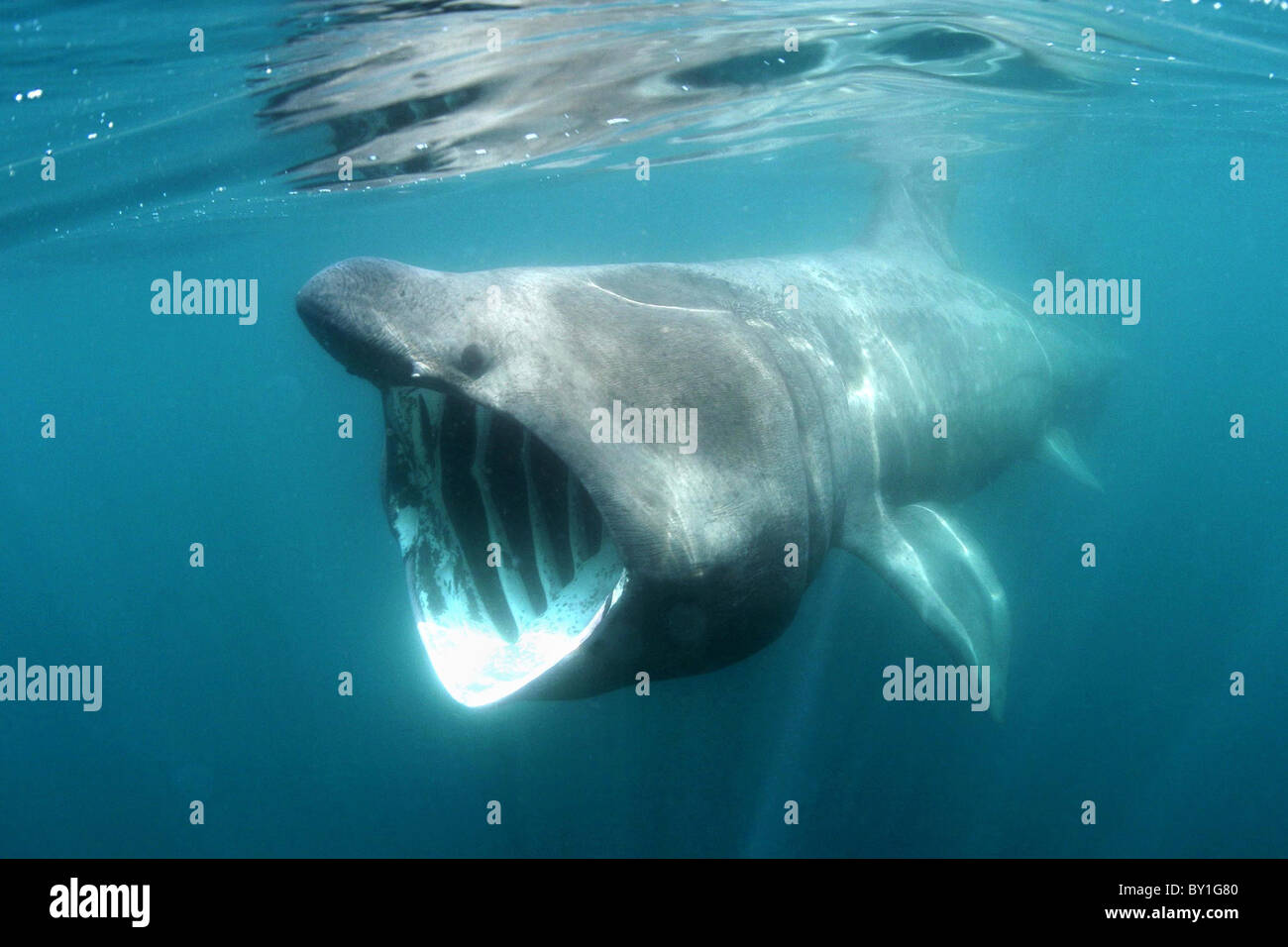 A basking shark feeding off the north coast of Cornwall - Stock Image