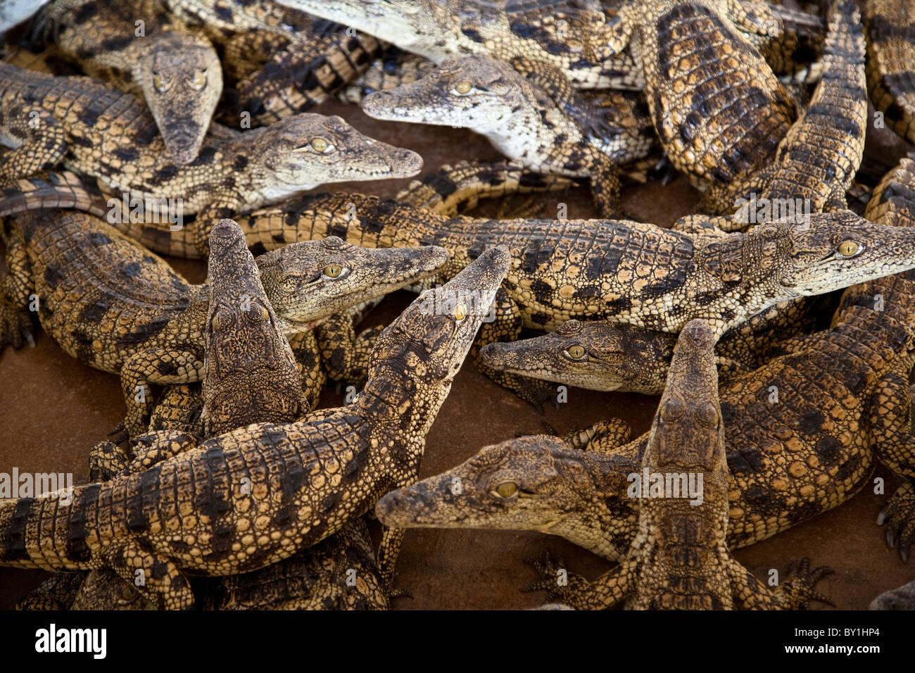 Namibia. Young crocodiles at a crocodile farm. - Stock Image