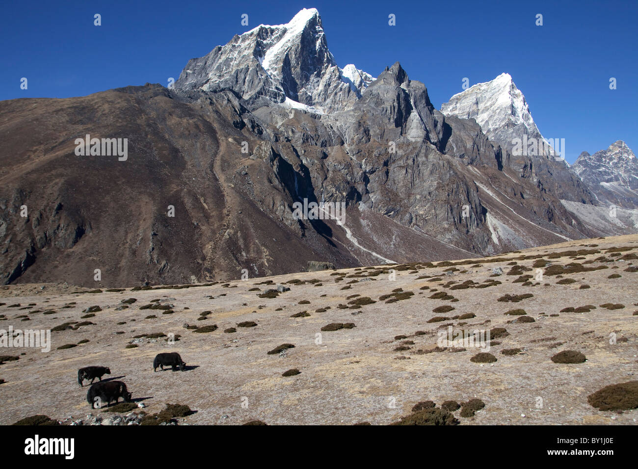 Nepal, Everest Region, Khumbu Valley.   On the pasture above Periche yaks graze on the Everest Base Camp Trail - Stock Image