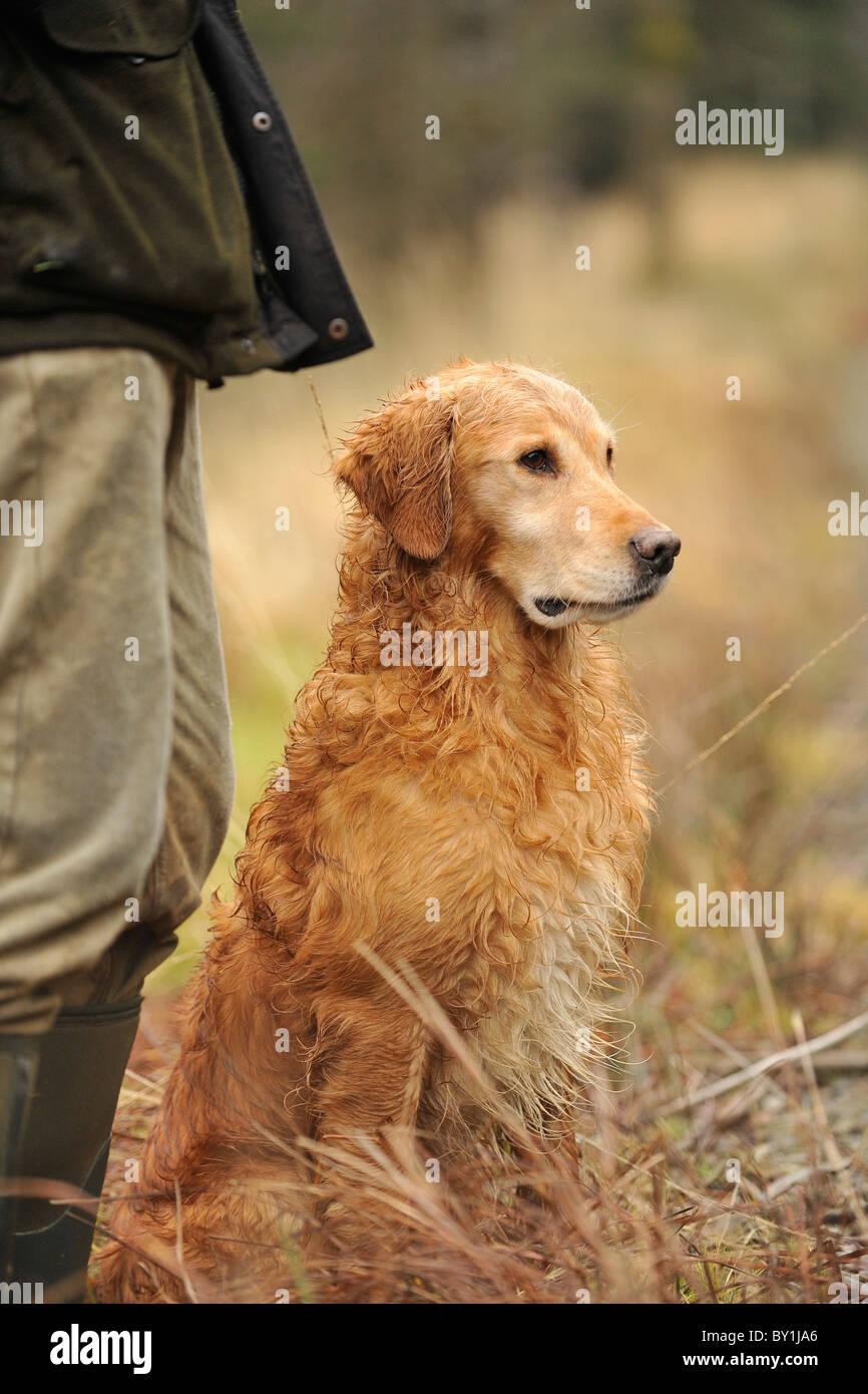 golden retriever gun dog sat next to shooter on a pheasant shoot - Stock Image