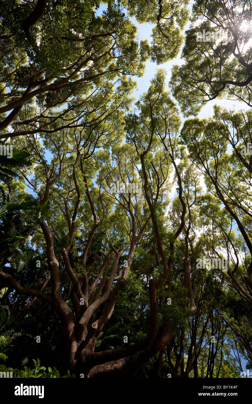 South Africa, Cape Town. Tall trees provide welcome shade with their canopy in the Kirstenbosch Botanical Gardens. - Stock Image