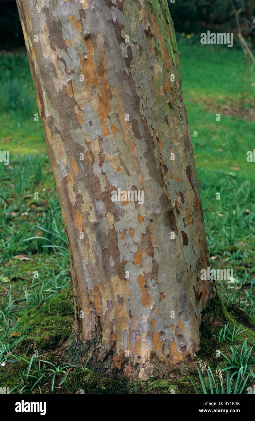 Ornamental tree Stewartia pseudocamellia patterned bark - Stock Image