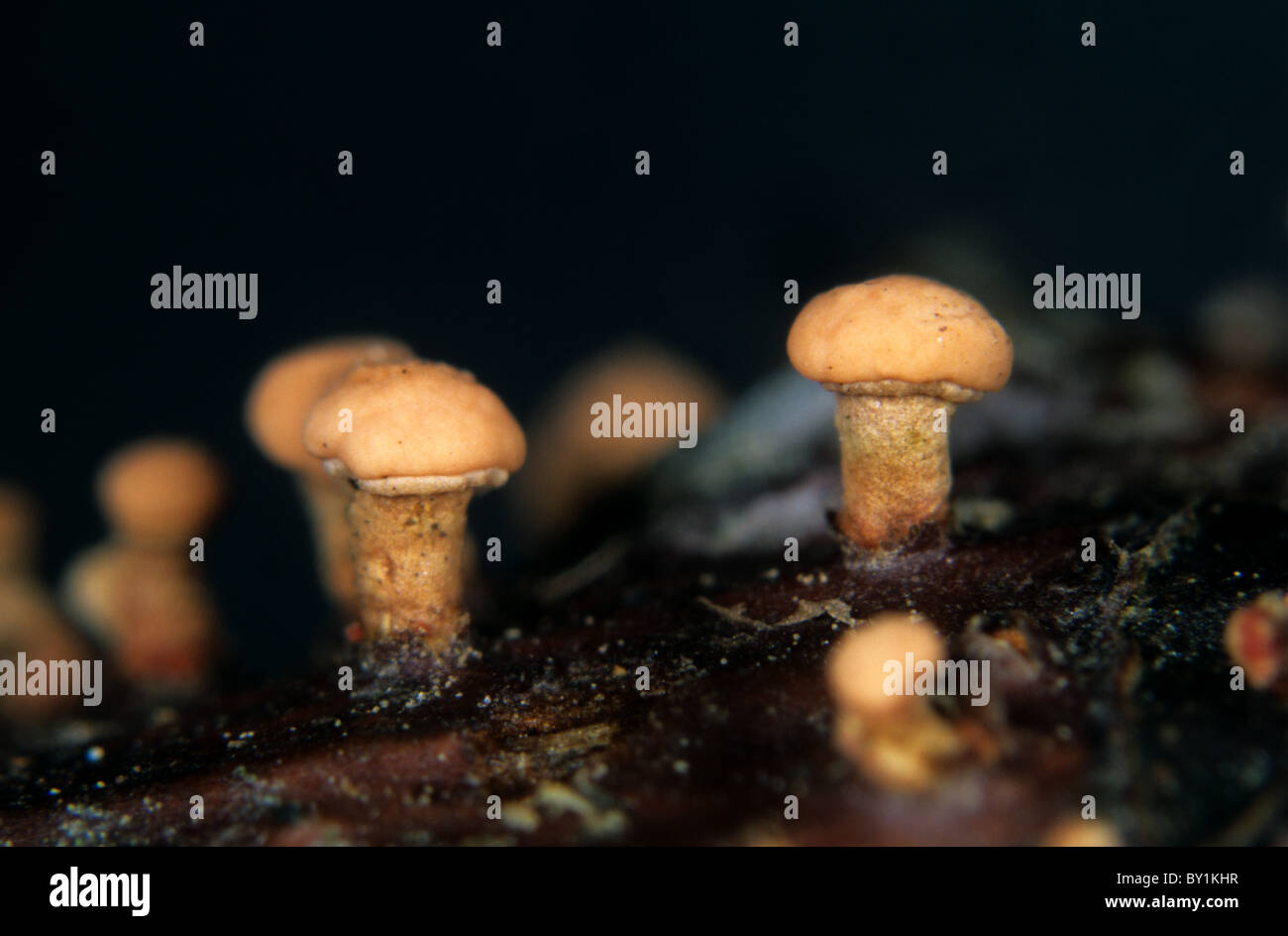 Coral spot (Nectria cinnabarina) fruiting bodies on dead wood - Stock Image
