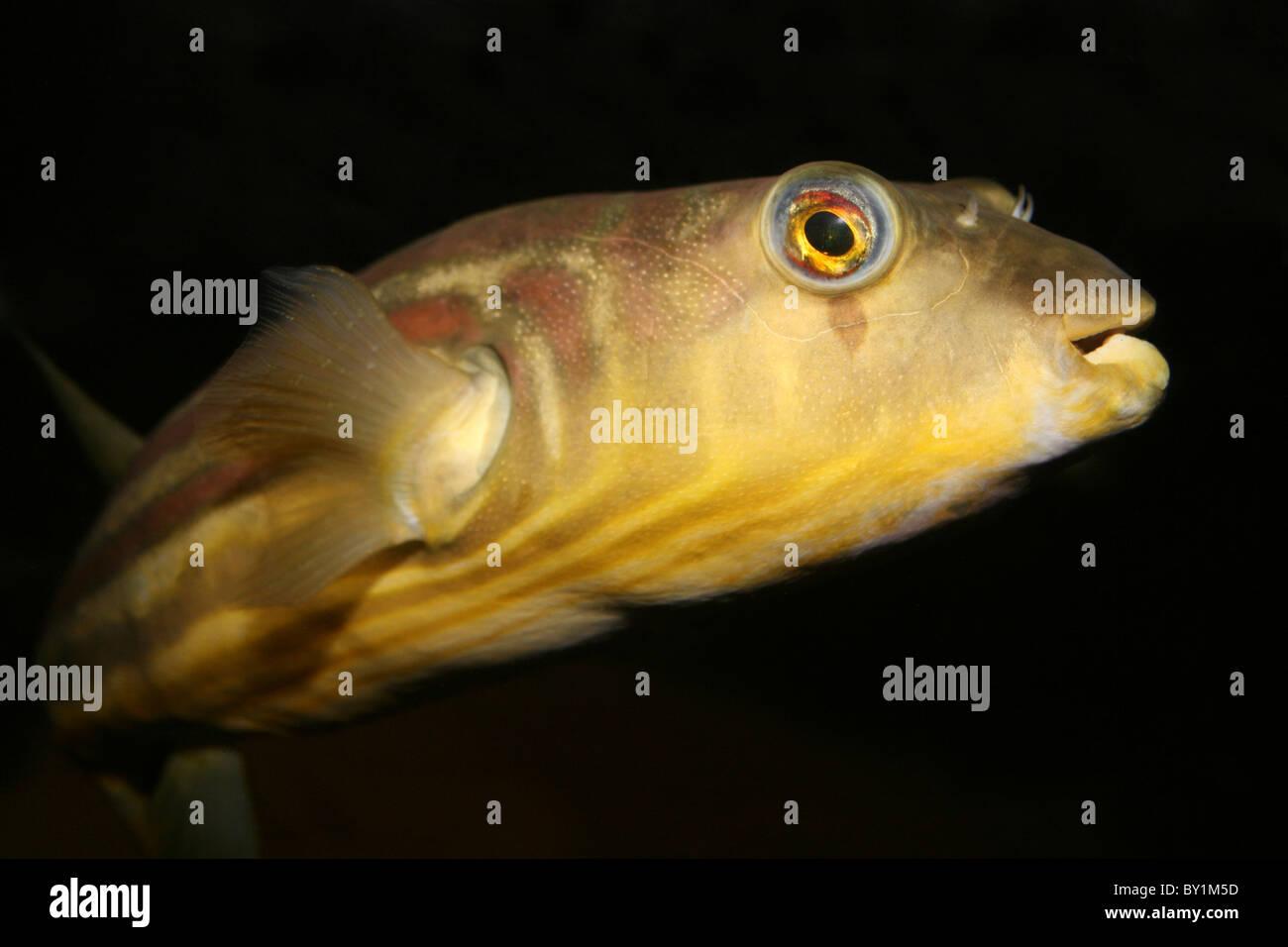 Nile Puffer a.k.a Bander Pufferfish Tetraodon lineatus Stock Photo