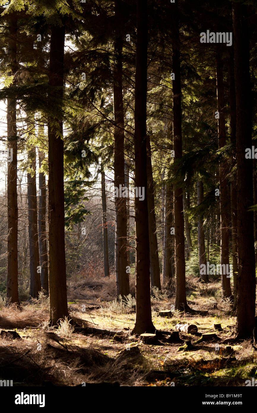 trunks of upright pine trees in forest with sunshine - Stock Image